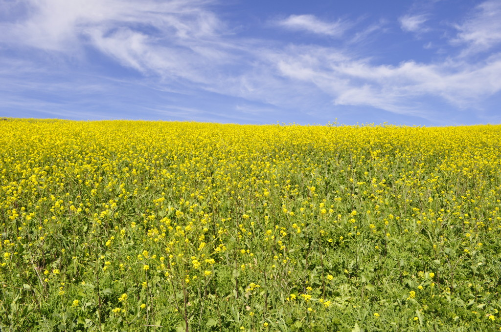 Wild Mustard Field on Santa Cruz Island, California