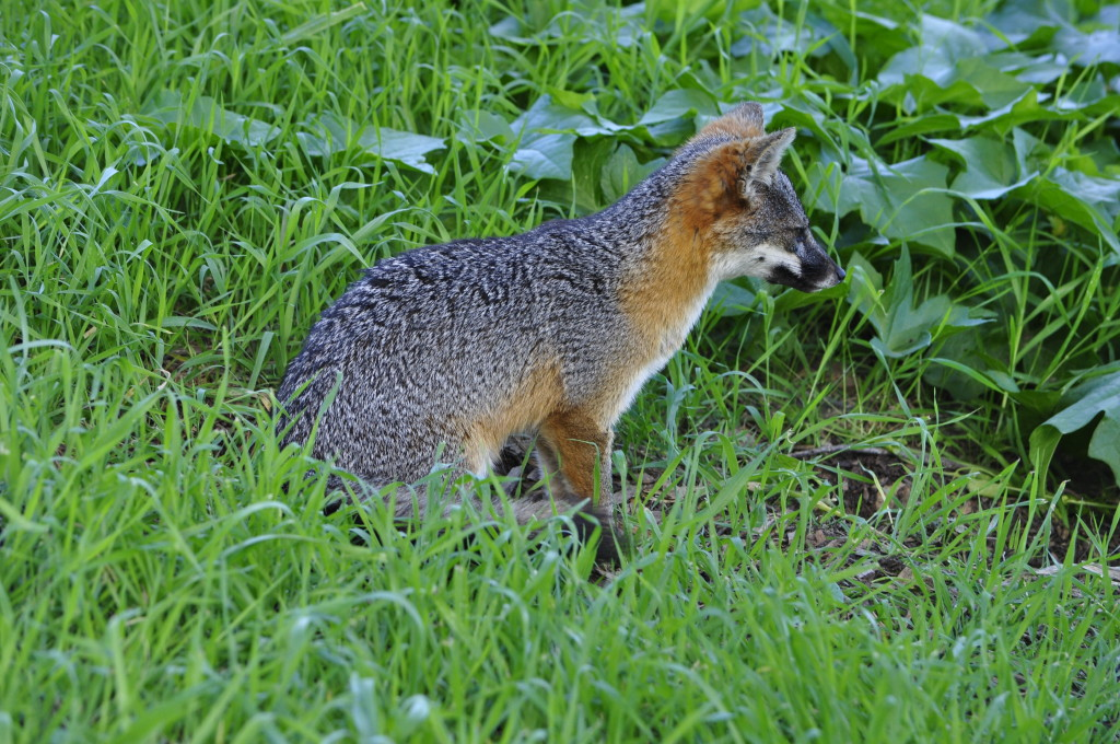 Santa Cruz Island Fox - only on Santa Cruz Island!